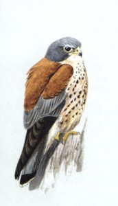 Птахи фауни України: польовий визначник