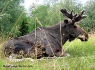 Лосів в Україні лишилось близько 1000 особин