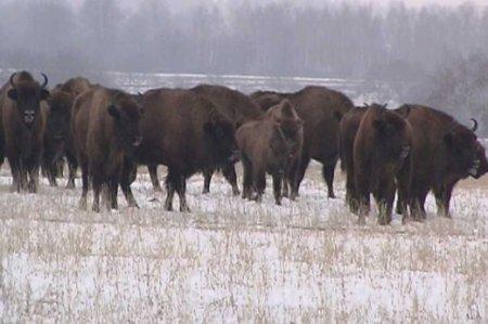 Зубри живуть стадами до кількох десятків голів в кожному