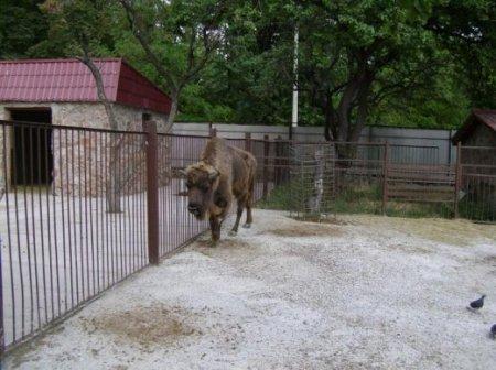 Зубр-одинак у Сімферопольському зоокуточку
