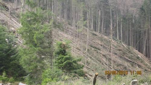 Свіжий зрубаний ліс у долині ріки Зубрівки... Джерело ілюстрації: Олександр Варґа