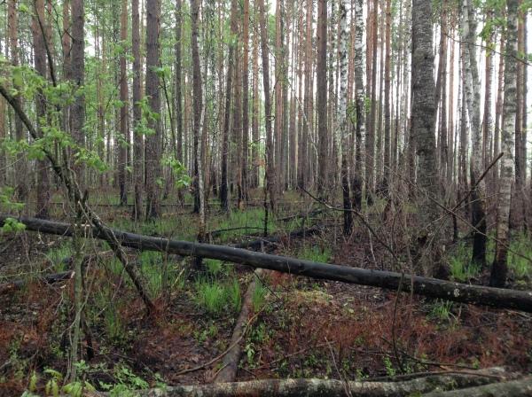 Спалений ліс із рододендроном жовтим – чарівною понтійською азалією, і він має підлягати охороні згідно Зеленої книги України. Але тут він знищується усіма можливими способами