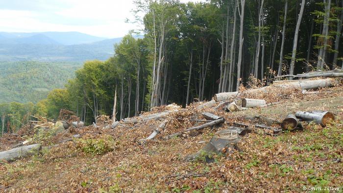 На Закарпатті знищують ліси, внесені до списку спадщини ЮНЕСКО