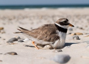 shorebirds_fig3_600