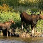 Ученые предлагают внести в Красную книгу лосей