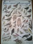 наші птахи на плакаті УТОП