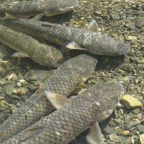 Для відродження популярного виду риби треба віддати віжки бізнесу, залишивши державі контрольні функції