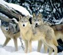 685-wolf04.jpg